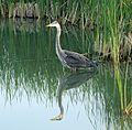 Great Blue Heron, Diaz Lake, Sierra Nevada, CA 6-16 (27827039780).jpg