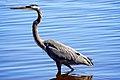 Great Blue Heron (Ardea Herodias) (6306732681).jpg