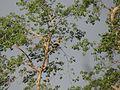 Great Hornbill - Buceros bicornis DSC02690.jpg