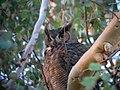 Great Horned Owl - Flickr - GregTheBusker (5).jpg