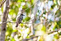 Great crested flycatcher (19867309284).jpg
