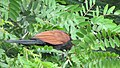 Greater coucal 12.jpg