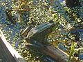 Green Frog, Rana clamitans - Flickr - GregTheBusker (1).jpg