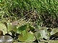 Green Heron (juvenile) (35481405631).jpg