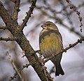 Greenfinch (32701005916).jpg
