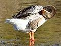 Greylag Goose by American River - Flickr - jeimey31.jpg