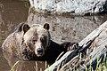 Grizzly Bär in Kanada (44673453292).jpg