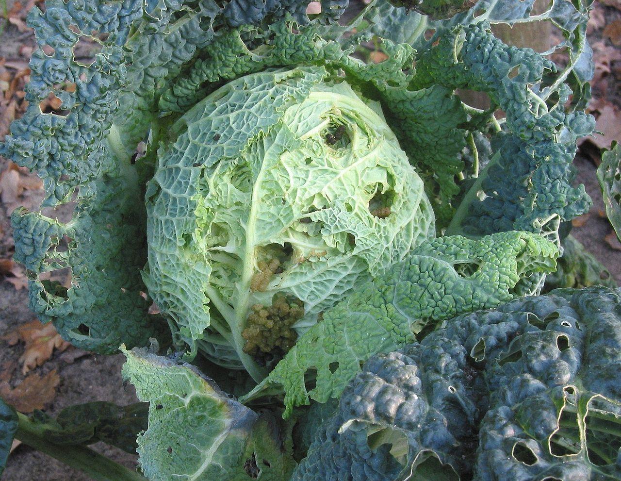 Mora kapustová (Mamestra brassicae) - húsenice na kapuste