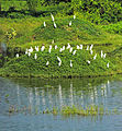 Group of egrets 1.jpg