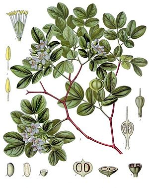 Guajak-Baum (Guajacum officinale), Illustration