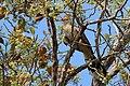 Guira cuckoo (Guira guira).JPG