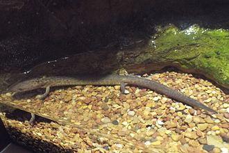 Tennessee cave salamander - Specimen at the Tennessee Aquarium