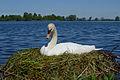 Höckerschwan mit Nest, Cygnus olor, nests with eggs 11.JPG