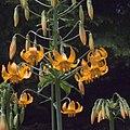 H20100603-2707--Lilium columbianum--RPBG (9123641152).jpg