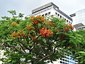HK Central 中環 Edinburgh Place tree green leaves red flowers May-2012 view Mandarin Hotel.JPG