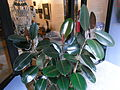 HK Sheung Wan 18 Po Hing Fong barber shop Ficus elastica Indian rubber tree Aug-2012.JPG