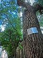 HK Wan Chai Queen's Road East 樟樹 Camphor Trees June-2013.JPG