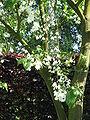 Halesia carolina02.jpg