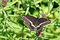 Halifax DSC08395 - Black Swallowtail Butterfly (36162266402).jpg