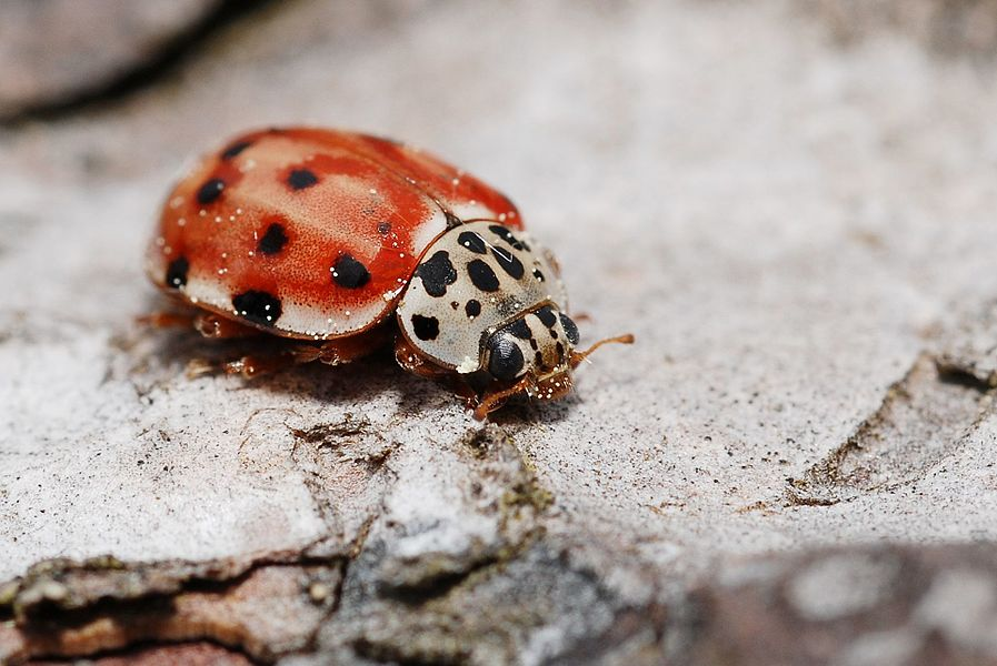 A common European ladybird living exclusively on pine trees