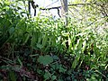 Hart's tongue fern - geograph.org.uk - 422305.jpg