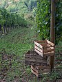 Harvest crates for wine grapes.jpg