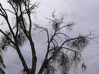 Haustorium - Multiple mistletoes, multiple haustoria in a dead gum
