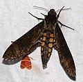 Hawkmoth (Manduca lucetius) (39680109802).jpg