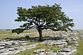 Hawthorn on Limestone Pavement - geograph.org.uk - 208004.jpg