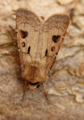 Heart and dart moth (42364724092).png