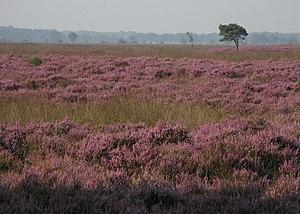 Dwingelderveld National Park - Image: Heide op het Dwingelderveld
