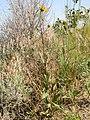 Helianthus pauciflorus (H. rigidus) (3487188847).jpg