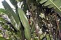 Heliconia rostrata 25zz.jpg