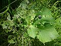 Helix pomatia4.jpg