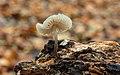 Helmmycena (Mycena galericulata) (d.j.b.) 08.jpg