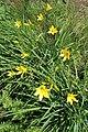 Hemerocallis lilioasphodelus kz05.jpg