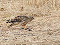 Hen Harrier (Circus cyaneus) (49185415207).jpg