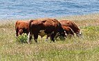 Hereford cattle Big Sur May 2011 001.jpg