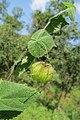 Herissantia crispa - Bladder Mallow at Theni (8).jpg
