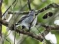 Herpsilochmus parkeri - Ash-throated-Antwren (cropped).jpg