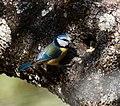 Herrerillo en nido (Parus caeruleus) Blue tit feeding brood 2.jpg