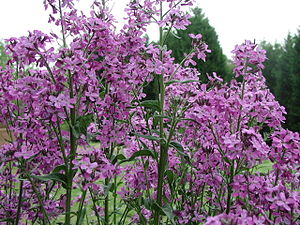 English: Hesperis matronalis (Dame's Rocket) i...