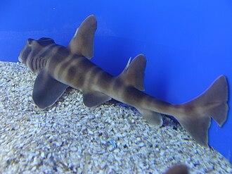 Japanese bullhead shark - The color pattern of the Japanese bullhead shark distinguish it from similar species.