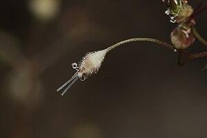 Heuchera - Image: Heuchera micrantha 1586