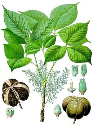 Hevea brasiliensis - Image: Hevea brasiliensis Köhler–s Medizinal Pflanzen 071
