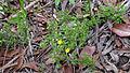 Hibbertia aspera (16011794286).jpg