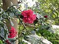 Hibiscus in rajbiraj(4).JPG
