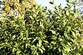 Hibiscus schizopetalus 4zz.jpg