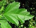 Hibiscus sp. (rose mallow) (Newark, Ohio, USA) 12 (43345959881).jpg