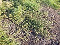 Hibiscus trionum sl40.jpg